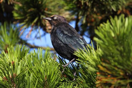 Male Brewers Blackbird  Euphagus cyanocephalus  in a tree Stock Photo - 18057645