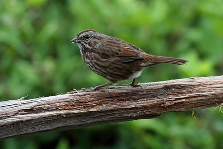 Song Sparrow  Melospiza melodia  on a perch - dark Pacific Race