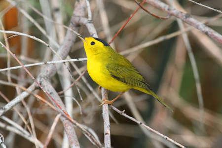 songbird: Wilsons Warbler  Wilsonia pusilla  on a perch in a bush