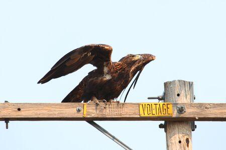 aigle royal: Golden Eagle Aquila chrysaetos sur un perchoir contre un ciel bleu