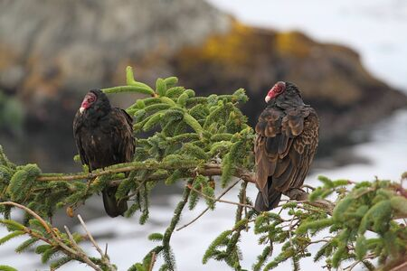 the aura: Pair of Turkey Vultures  Cathartes aura  perched in a tree by the ocean