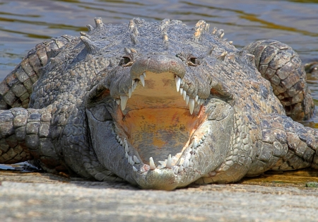 croc: American crocodile (Crocodylus acutus)) basking in the sun in the Florida Everglades