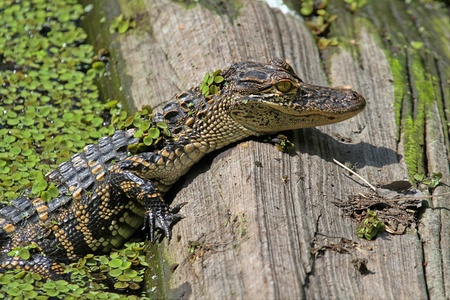 Baby American Alligator  alligator mississippiensis  basking in the sun in the Florida Everglades photo