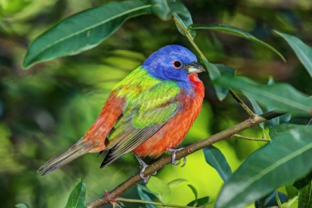 Colorful Painted Bunting  Passerina ciris  on a log