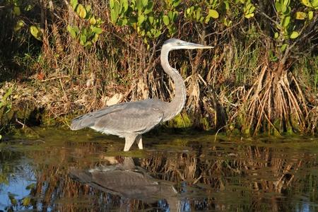 great blue heron: Great Blue Heron (Ardea Herodias) in the Florida Everglades