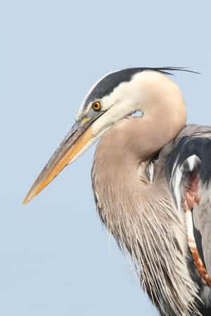 airone: Great Blue Heron (Ardea Erodiade) nelle Everglades della Florida