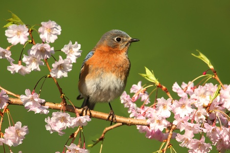 eastern bluebird: Female Eastern Bluebird (Sialia sialis) in a tree with cherry blossoms