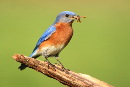 songbird: Male Eastern Bluebird  Sialia sialis  on a perch with worms and a green background Stock Photo