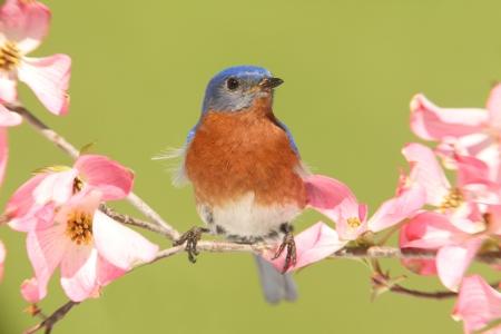 Male Eastern Bluebird  Sialia sialis  with pink Dogwood flowers photo