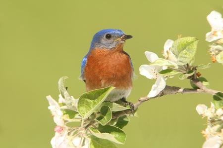eastern bluebird: Male Eastern Bluebird  Sialia sialis  in an apple tree with flowers Stock Photo