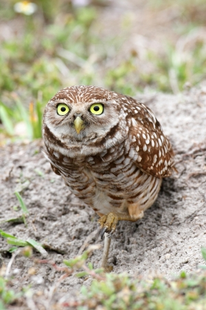 athene: Burrowing Owl  athene cunicularia  by a nest hole in the Everglades