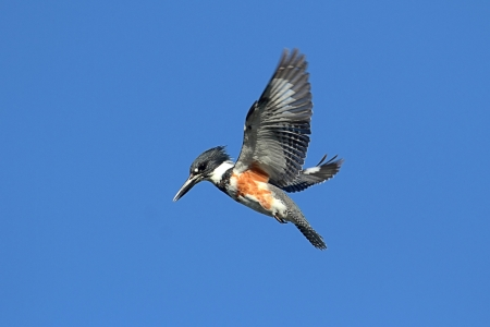 Belted Kingfisher (Ceryle alcyon) hunting for fish with a blue sky background
