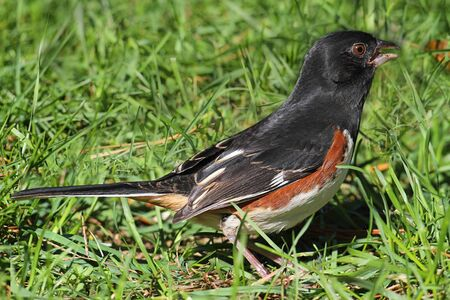 Male Eastern Towhee (Pipilo erythrophthalmus) with a green background