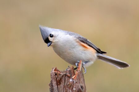 titmouse: Tufted Titmouse (baeolophus bicolor) on a stick with a brown background