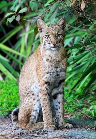 lince: Bobcat Wild (Lynx rufus) se relaja