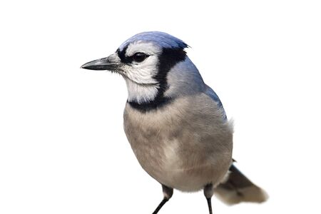 jay: Blue Jay  Cyanocitta cristata  - Isolated on a white background