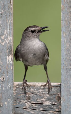 catbird: Gray Catbird  Dumetella carolinensis  on a fence with a green background