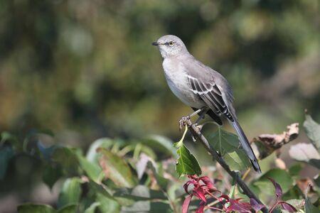 ruiseñor: Northern Mockingbird Mimus polyglottos en un arbusto con bayas