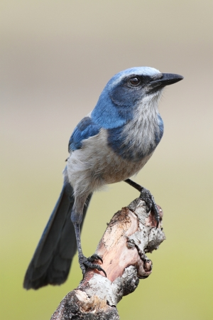 blue jay bird: Endangered Florida Scrub-Jay  Aphelocoma coerulescens  perched on a branch