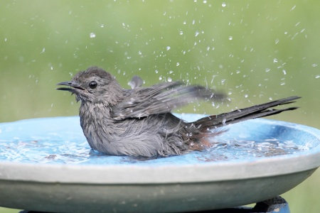 catbird: Gray Catbird  Dumetella carolinensis  in a birdbath with a green background