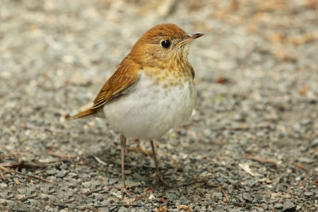 Veery  Catharus fuscescens  on the ground in spring