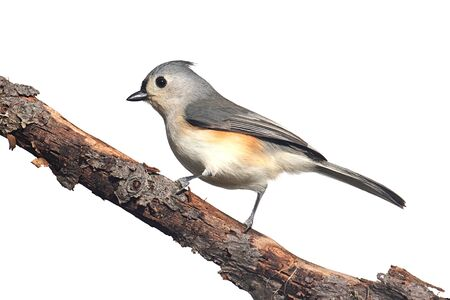 titmouse: Tufted Titmouse (Baeolophus bicolor) - Isolated on a white background