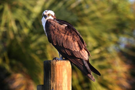 osprey bird: Osprey (pandion haliaetus) perched on a pole in the Everglades Stock Photo