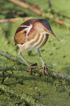 bittern: Male Least Bittern (Ixobrychus exilis) in the Florida Everglades Stock Photo