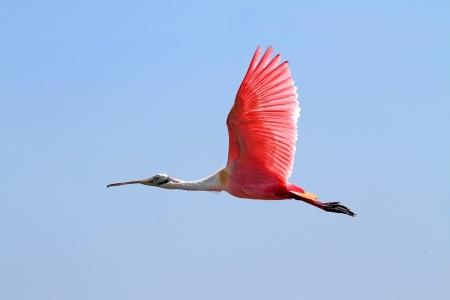 roseate: Roseate Spoonbill (Platalea ajaja) in flight in the Florida Everglades Stock Photo