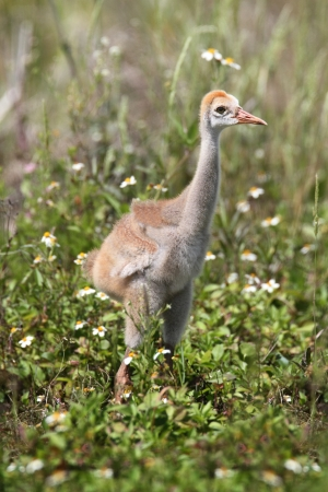 canadensis: Sandhill Cranes (Grus canadensis) baby in the Florida Everglades