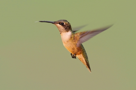Ruby-throated Hummingbird in flight with a green background photo
