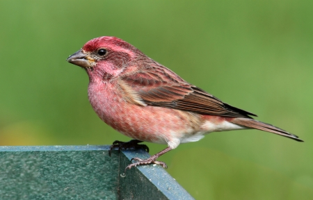 songbird: Male Purple Finch (Carpodacus purpureus) perched on a feeder with a green background