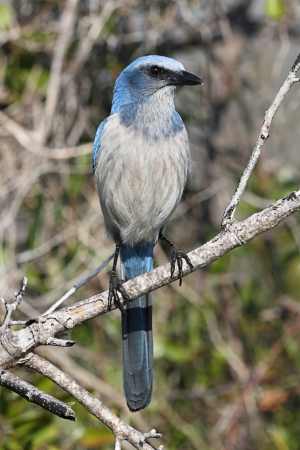 Endangered Florida Scrub-Jay (Aphelocoma coerulescens) perched on a branch photo