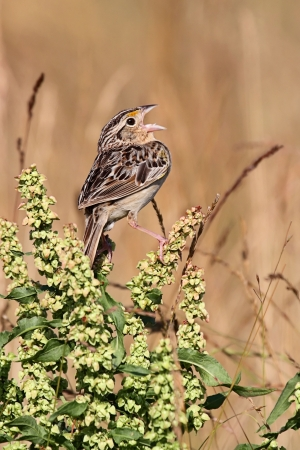 threatened: Threatened Grasshopper Sparrow (Ammodramus savannarum) singing on a plant stalk Stock Photo