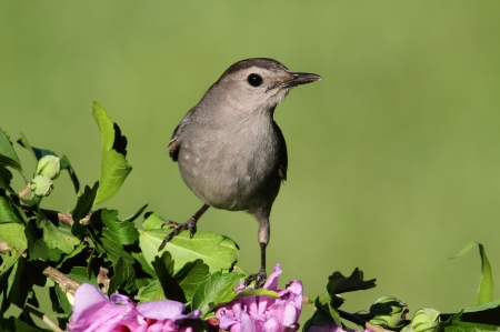 Gray Catbird (Dumetella carolinensis)  with flowers