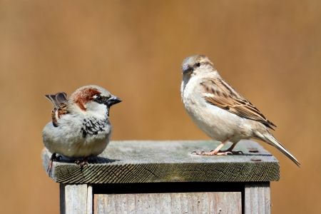 Pair of House Sparrows (Passer domesticus) courting on a bird house