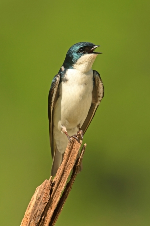 Tree Swallow (tachycineta bicolor) on a stump with a green background