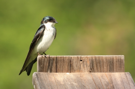 Tree Swallow (tachycineta bicolor) perched on top of a nest box