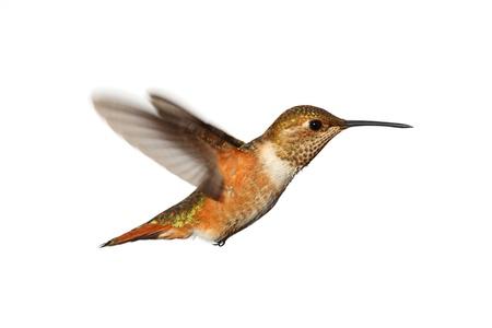 colibries: Colibr? rufo (Selasphorus rufus) en vuelo isoloated sobre un fondo blanco