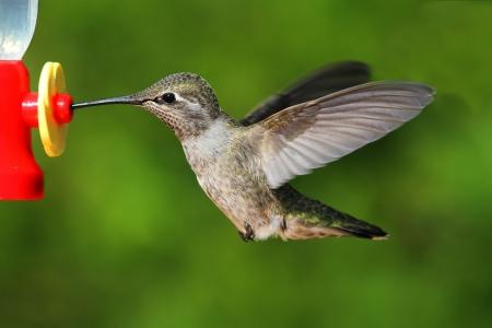 anna: Annas Hummingbird (Calypte anna) in flight at a feeder with a green background