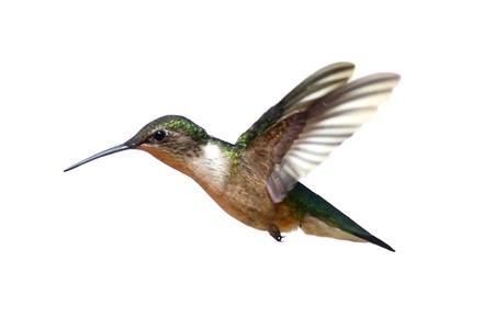 Mujer colibr? garganta rub? (Archilochus Colubris) en vuelo aislado en un fondo blanco Foto de archivo