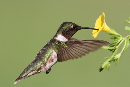 ruby throated: Male Ruby-throated Hummingbird (archilochus colubris) in flight with a yellow flower and a green background