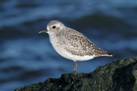 pluvialis: Black-bellied Plover (Pluvialis squatarola) by the Atlantic ocean