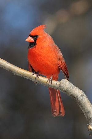 Male Northern Cardinal (cardinalis) on a branch in winter