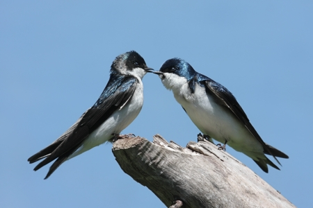 Paar Tree zwaluwen (tachycineta bicolor) op een boomstronk Stockfoto