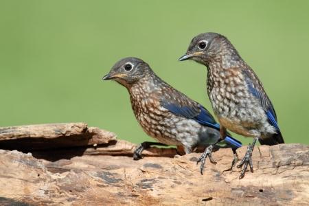 eastern bluebird: Baby Eastern Bluebird (Sialia sialis) on a log