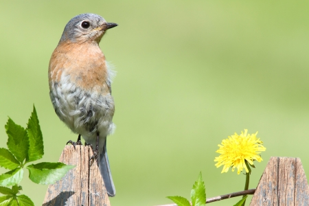 Female Eastern Bluebird (Sialia sialis) on a fence with dandilions