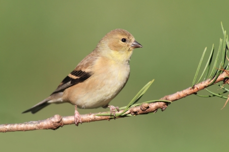 songbird: American Goldfinch  Carduelis tristis  perched on a branch with a green background