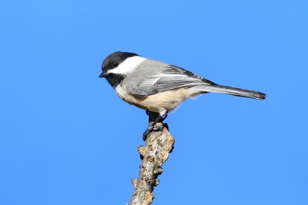 capped: Black-capped Chickadee  poecile atricapilla  on a perch with a blue background Stock Photo