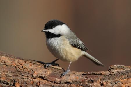 songbird: Carolina Chickadee  Poecile carolinensis  on a perch in winter Stock Photo